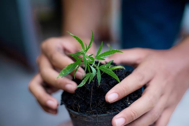 Mãos do agricultor com mudas de cannabis plantadas em uma panela.