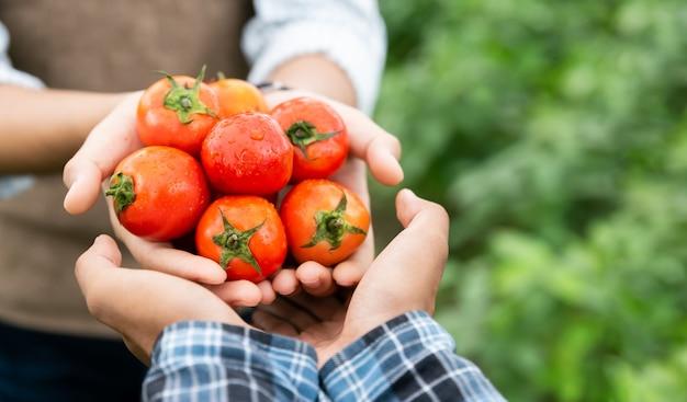 Mãos do agricultor mostram seu tomate fresco na fazenda e pronto para dá-los ao cliente, entrega de produtos do mercado de produtos frescos, compras online, agricultura e conceito de natureza.