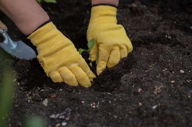 Mãos do fazendeiro com luvas, transplantando mudas de pimenta na cama no solo do jardim