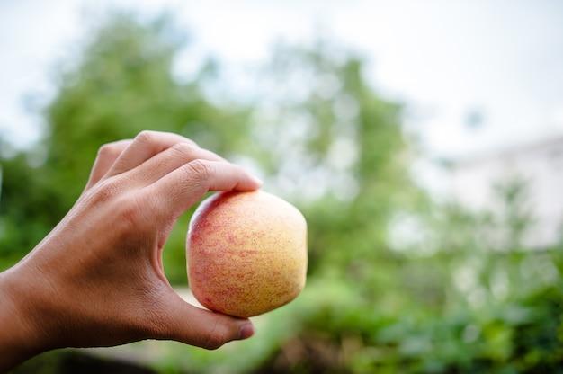 Mãos e maçãs de pessoas que amam cuidados de saúde. comendo maçãs com vitamina c, o conceito