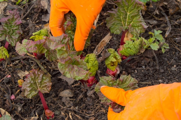 Mãos em luvas laranja cuidando de ruibarbo jovem no jardim