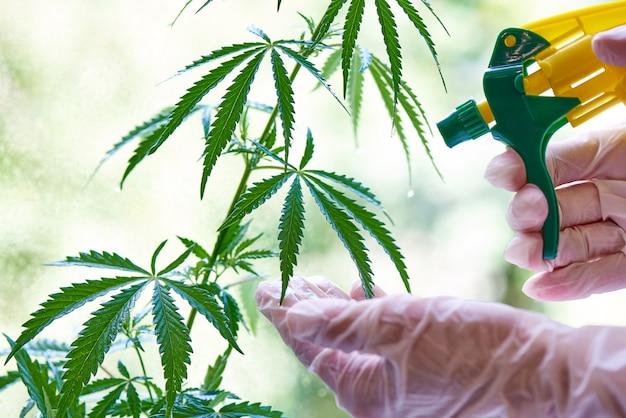 Mãos em luvas pulverizar solução em close-up de cannabis.