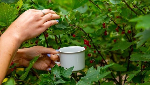 Mãos femininas coletam groselhas de um arbusto em um copo branco sem rosto. conceito de colheita de colheita