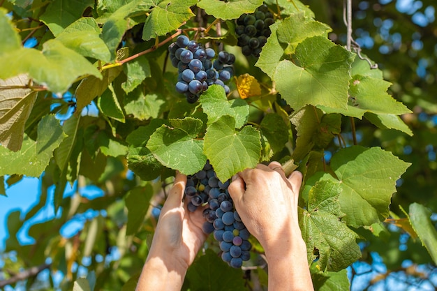 Mãos femininas com um cacho de uvas. colher uvas pretas isabella de um galho no outono.