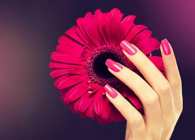 Mãos femininas elegantes com manicure rosa nas unhas. dedos lindos, delgados e graciosos seguram ternamente uma flor de gérbera rosa. manicure e cosmética.