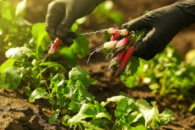Mãos femininas em luvas pretas arrancam um rabanete rosa maduro do solo no jardim