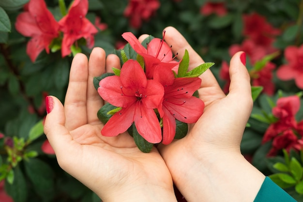 Mãos femininas segurando uma flor de azaléia rosa, flor exótica brilhante, fundo de primavera