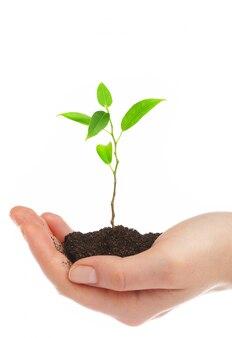 Mãos humanas seguram e preservam uma planta jovem