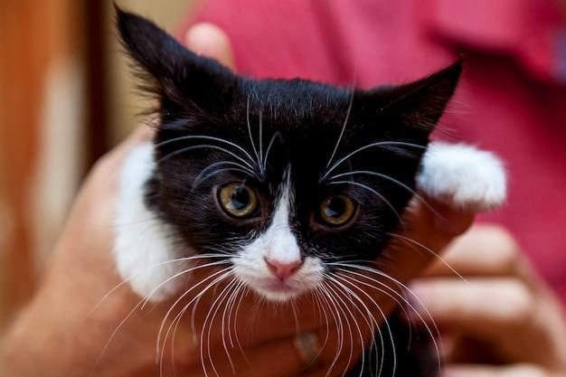 Mãos masculinas segurando um gatinho preto e branco com uma cara engraçada e um grande bigode branco e sobrancelhas