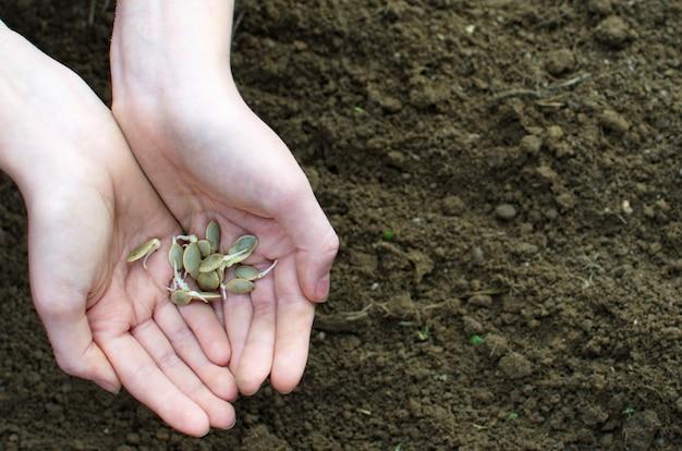 Mãos seguram sementes germinadas da família abóbora dos vegetais. copie o espaço