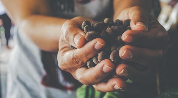 Mãos segurando colher de grãos de café não descascados colheita de outono