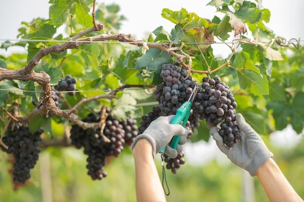 Mãos segurando e cortando uvas da planta.