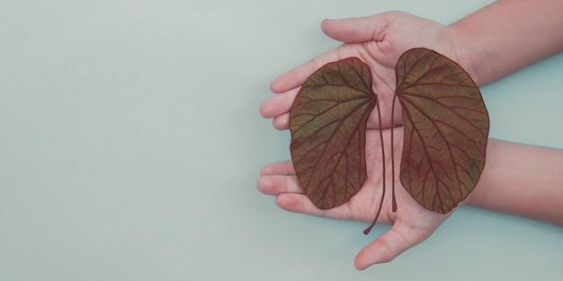 Mãos segurando folhas em forma de rim, dia mundial do rim, dia nacional do doador de órgãos, conceito de doação de caridade