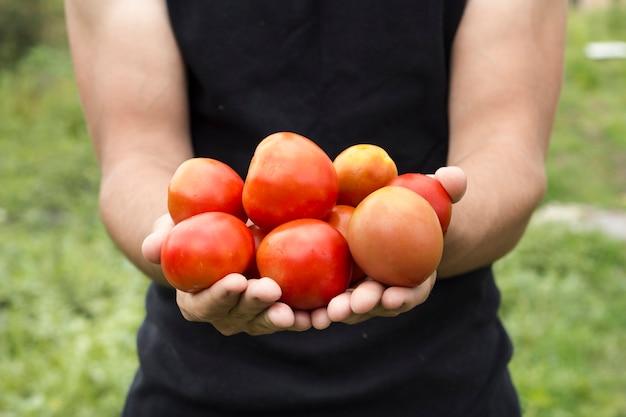 Mãos, segurando, fresco, tomates, colheita, vista dianteira