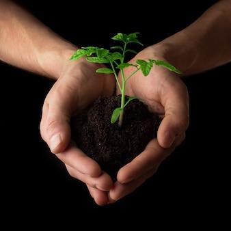 Mãos segurando mudas de tomate. jardinagem e conceito de proteção ambiental
