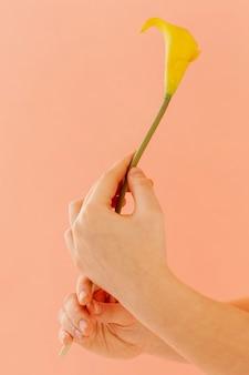 Mãos segurando uma flor de lírio de calla