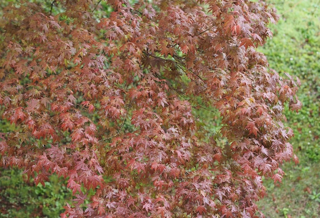 Maple acer