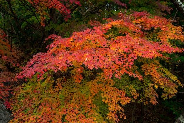 Maple é mudar a cor para sazonal em novembro e folha iluminada