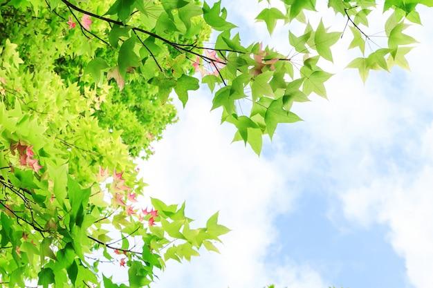 Maple folhas de fundo