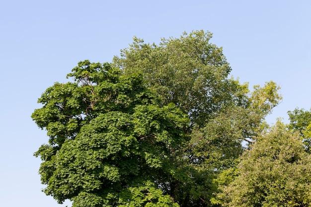 Maple tree crescendo na natureza, maples no verão com folhagem nos galhos