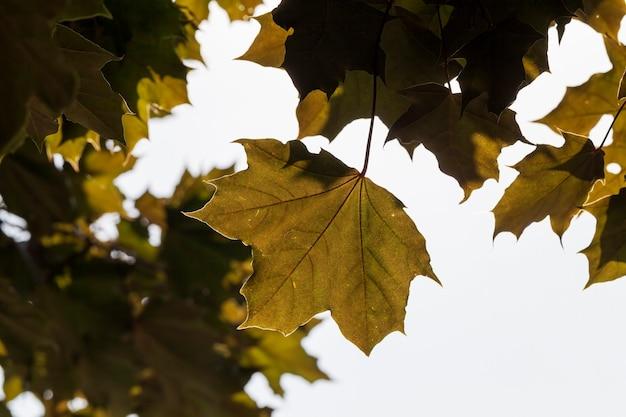 Maple tree crescendo na natureza