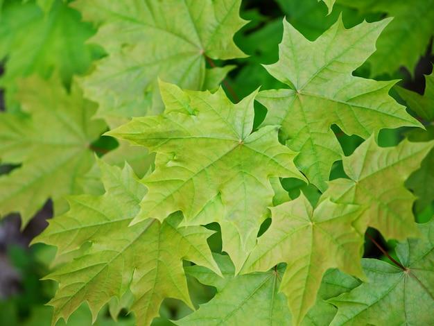 Maple verde, folhas, fundo