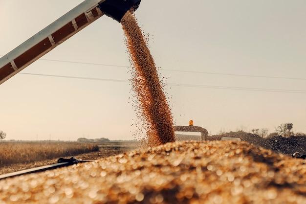 Máquina para separar grãos de milho trabalhando no campo e enchendo carreta de trator com milho. o outono é para colher milho