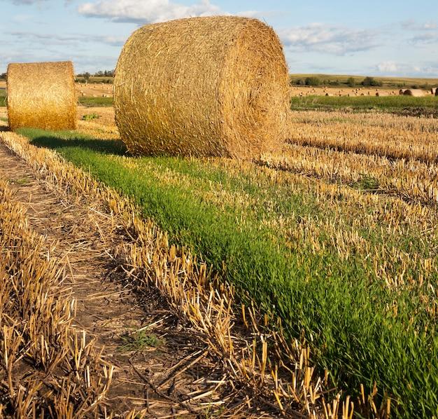 Máquinas torcidas de fardos de palha durante a coleta de trigo maduro seco, paisagem de verão em clima quente com céu