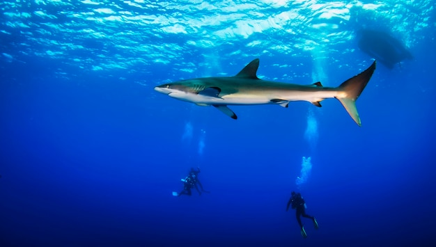 Mar de cortez, costa do méxico, fevereiro de 2017: enorme tubarão branco na noite negra do oceano nada debaixo de água. tubarões na selva. vida marinha subaquática no oceano azul. observação do mundo animal
