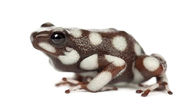 Maraã ¢ âˆâšã'â ± ã ¢ âˆâšã ¢ â ‰ â ¥ n poison frog ou rana venenosa, ranitomeya mysteriosus, contra o espaço em branco