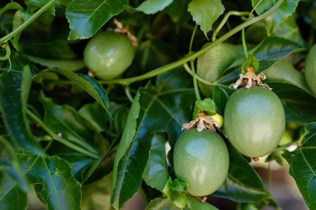 Maracujá verde verde pendurado na árvore, passiflora edulis, fruta trepadeira