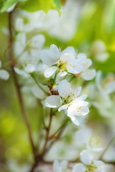 Maravilhosas flores brancas de flores de cerejeira.