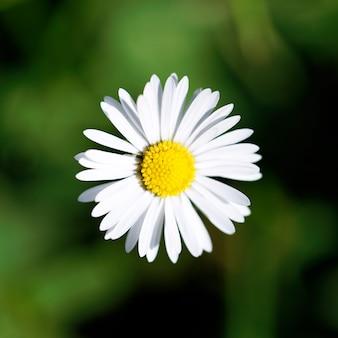 Margarida adorável, com um coração brilhante na primavera