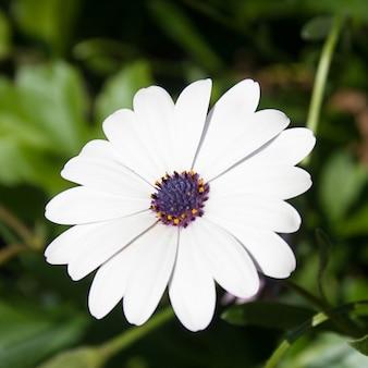 Margarida branca com botão roxo.