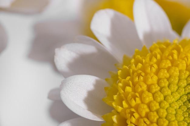 Margarida branca com estame amarelo em close-up com macro de fundo branco filmado sob luz forte