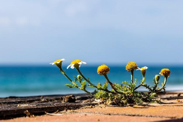 Margarida com poucas folhas com o mar ao fundo em um dia ensolarado.