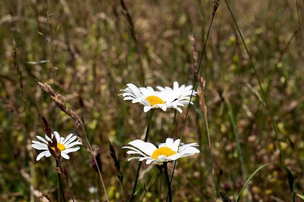 Margarida comum (bellis perennis) no prado na primavera