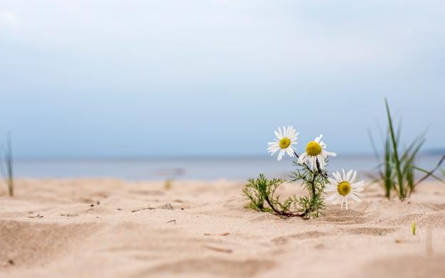 Margarida flor crescendo na areia na praia