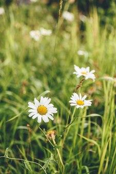 Margarida flores no gramado em dia de sol