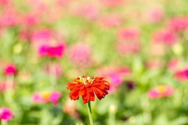Margarida gerbera flores com fundo desfocado