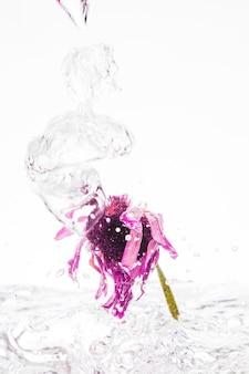Margarida rosa cair na água