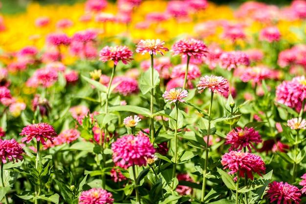 Margarida rosa gerbera flores com fundo desfocado