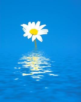 Margarida solitário cercado por água