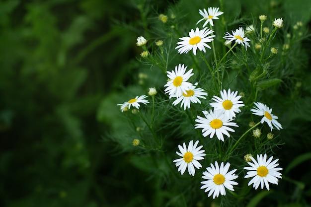 Margaridas brancas em um campo