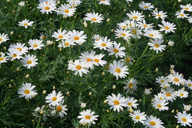 Margaridas brancas, flor