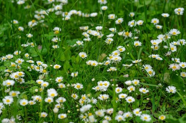 Margaridas brancas pequenas em um fundo verde.