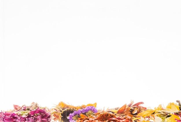 Margaridas coloridas molhadas sobre fundo branco