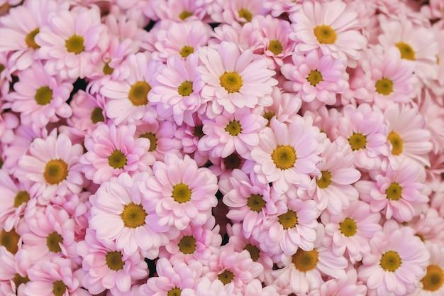 Margaridas cor de rosa. fundo floral flores no jardim. flores para cartão postal. margarida flor textura. lindo buquê de margaridas closeup.