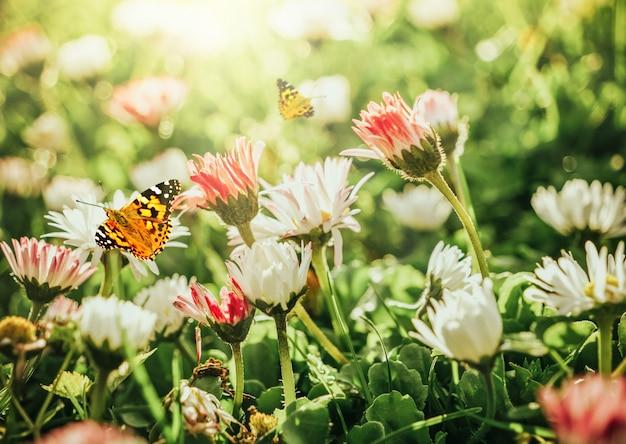 Margaridas de camomila em campo verde com luz do sol e borboleta voadora