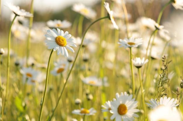Margaridas em um prado de primavera ao amanhecer